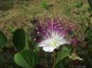 fleurs de câpriers?...