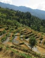 Népal, terrasses sorgho