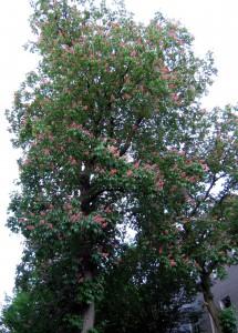 Das waren noch Zeiten: Kastanienblüte in der Dortmunder Arndtstraße am 8. Mai 2009. (Foto: Bernd Berke)