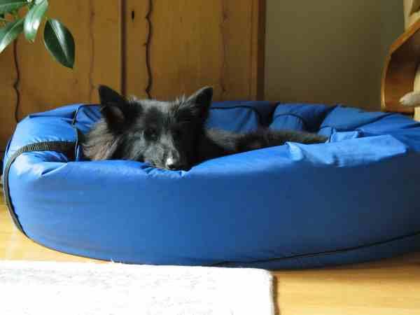 Cão preto de grande porte dorme em cama pet acolchoada azul.