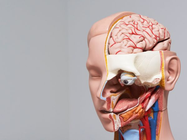 View of human head and neck model and section showing internal organ