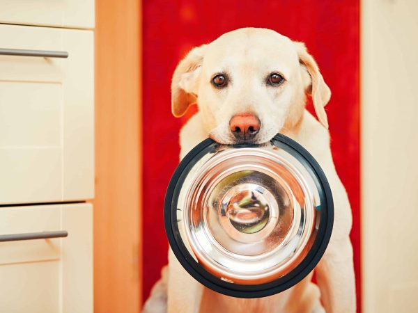 Domestic life with dog. Hungry dog with sad eyes is waiting for feeding in home kitchen. Adorable yellow labrador retriever is holding dog bowl in his mouth.