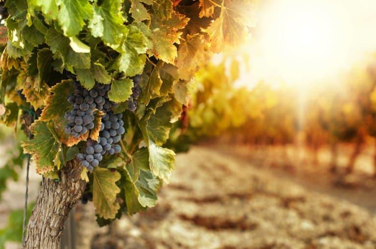 vino-vigna-xcyp1