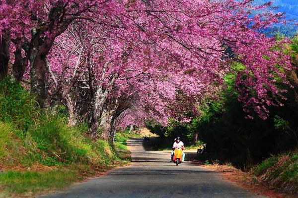 ททท. เชียงใหม่เชิญนักท่องเที่ยวสัมผัสเส้นทางดอกไม้บานเมืองเชียงใหม่ ๕ เส้นทาง  ชมดอกนางพญ
