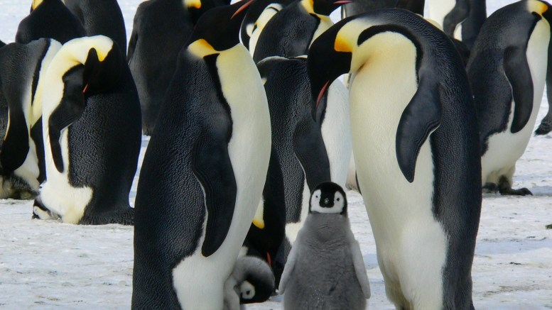 cool facts about penguins