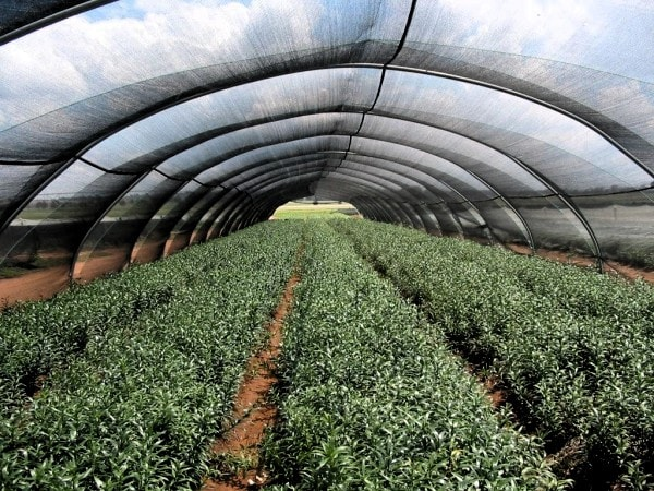 Crops growing under an agricultural shade cloth. Image Haygrove.