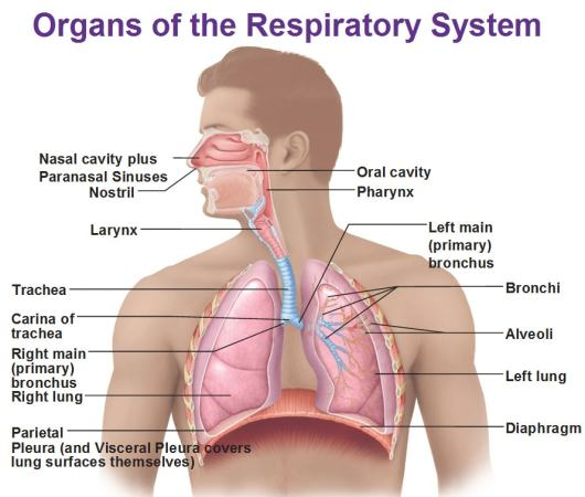 The respiratory system and gaseous exchange free zimsec revision zimsec o level combined science notes the respiratory system and gaseous exchange ccuart Choice Image