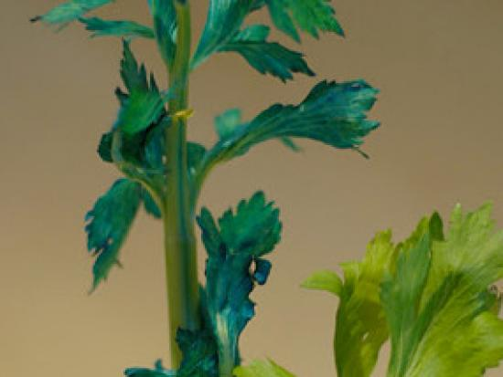 The plant's leaves change colour. Image credit imagearcade.com