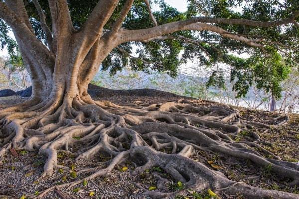Tree roots. Image credit lawnsite.com