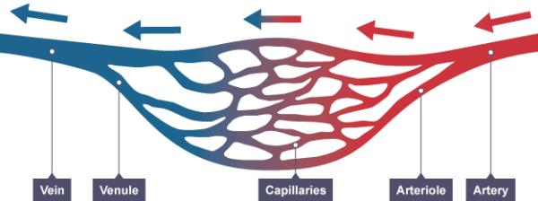 Arteries, capillaries and veins. Image credit evolvingsciences.com