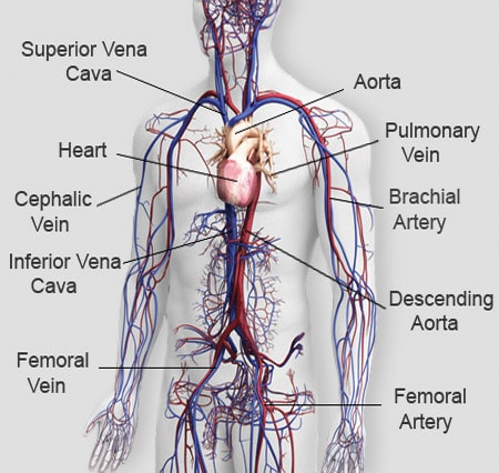 The Circulatory System Of Mammals Free Zimsec Revision Notes And