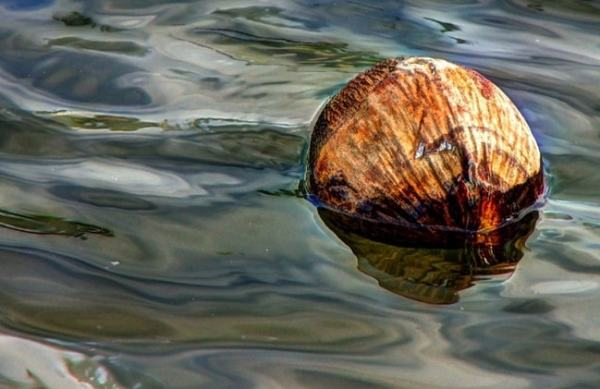 Floating coconut. Image credit motoringacrossamerica.com