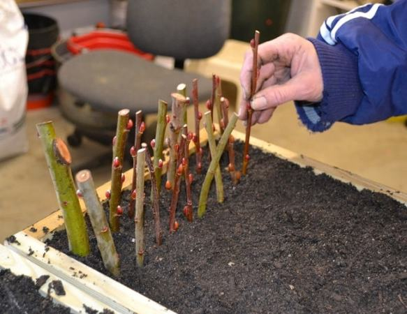 Plant the cuttings into the soil. Image credit mikesbackyardnursary.com