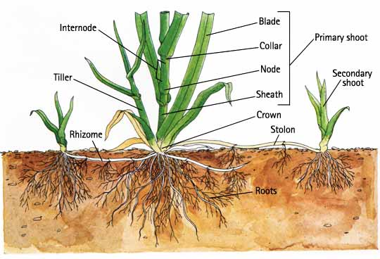 Rhizomes are involved in the asexual reproduction