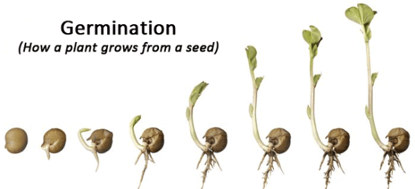 Seed germination. Image credit k8schoollessons.com