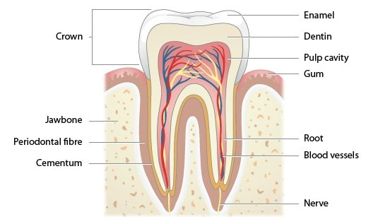 Structure of a tooth. Image credit solankidental.com