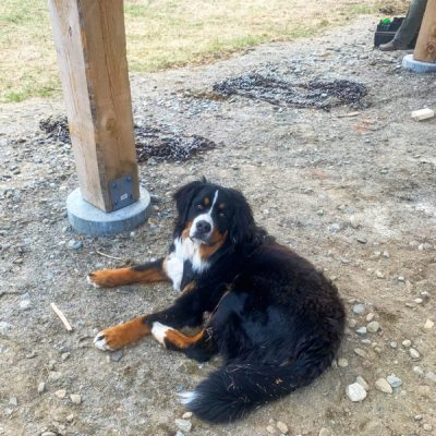 Max, the Bernese Mountain dog