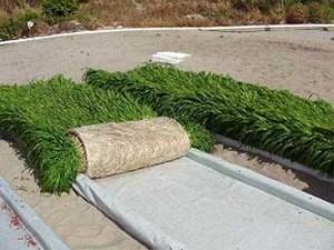 Resultado de imagem para milho hidroponico
