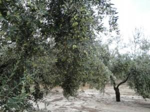 OLIVOS 2