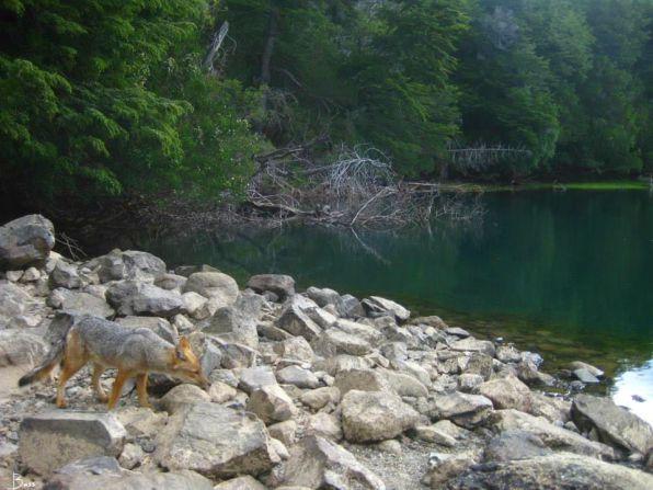 Rio Arrayanes en su orilla zorro patagonico -Lycalopex culpaeus - foto Brenda Segurel