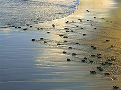 Processo abrange 7 mil tartarugas por ano - Imagem: Projeto Tamar/Divulgação