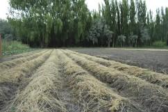 Cobertura de cultivos con pastura seca.