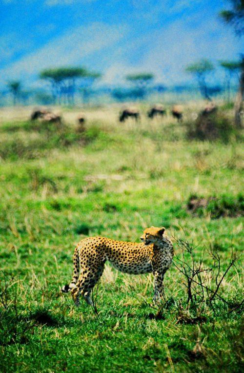 cheeta2_a-72-px