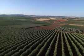 beneficios del cultivo superintensivo de olivar