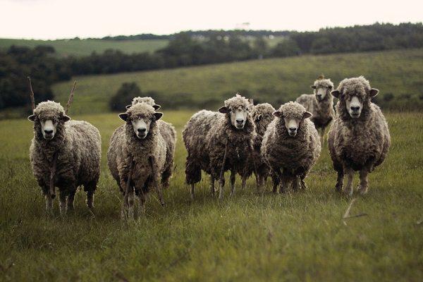 el ganado deja una huella genética