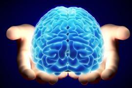 csic, el cerebro en desarrollo favorece los circuitos