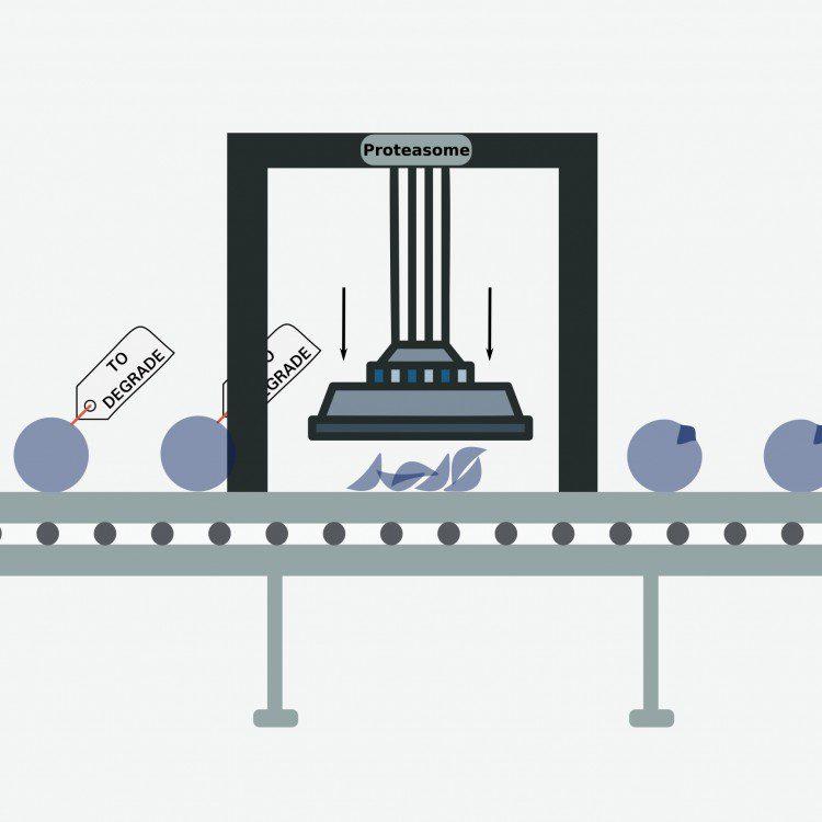 sistema de degradación de proteínas actúan en la generación de tumores