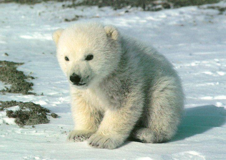 Osos Polares extinción