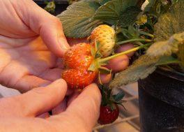 uma – regulaciÓn de la maduraciÓn de la fresa