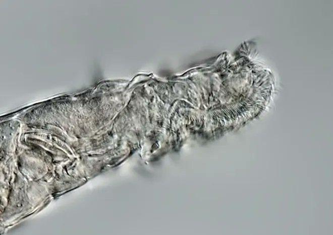 Animal Multicelular sobrevive tras 24 000 anos congelado