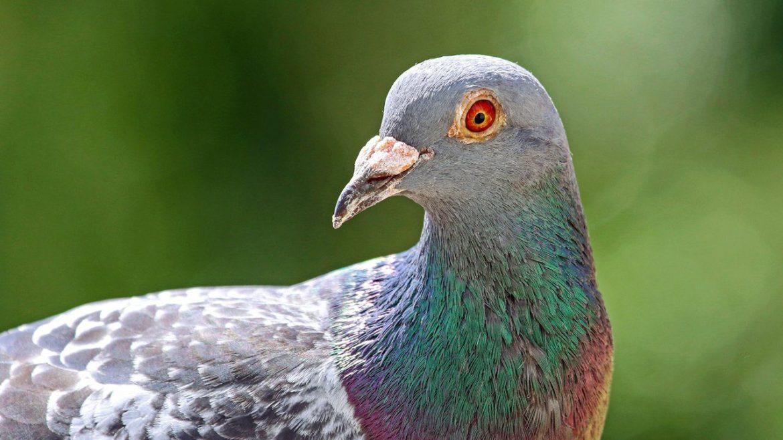 Esta paloma mensajera puede tener la anatomia neural necesaria para la conciencia FOTO DE STOCK DE RUTH SWAN ALAMY