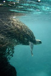 Tartaruga-marinha é atraída por mau cheiro de plástico - Planeta