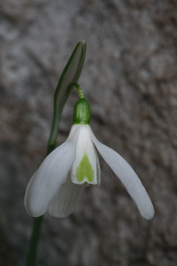 Variation in flower shape and inner segment markings in Galanthus cilicicus. Near Mersin, 18/12/15.