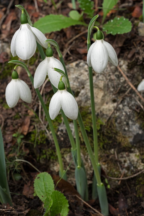 Galanthus elwesii var. monostictus. An example with short-clawed, rounded outer segments. Near Antalya, 16/12/15.