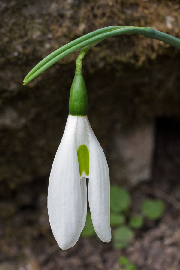 Galanthus elwesii var. monostictus with long, narrow outer segments. SW Turkey, 24/11/15.