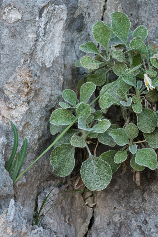Glaucescent leaves, with pale median stripe, on a plant of G. peshmenii that has recently finished flowering. 10/12/15.