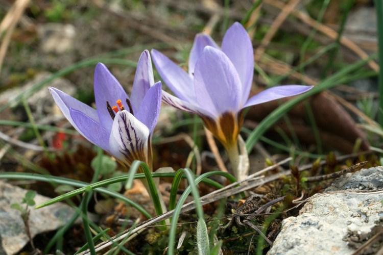 Crocus biflorus subsp. nubigena, NW Ikaria, 25/2/16.