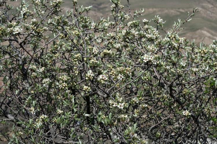 Pyrus salicifolia, David Ghareji, Georgia, 27/3/16.