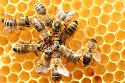 Ce qui est bon pour la ruche est bon pour l'abeille.