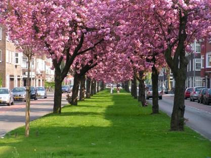 Cerisiers japonais en fleurs.