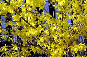 La naissance des premières fleurs blanches, bleues ou jaunes.