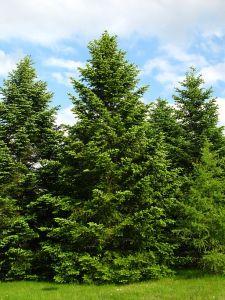 Les vertus sont assimilées à des arbres verdoyants