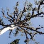 Ceiba tree in Tikal