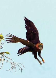 The ornate hawk-eagle, the most beautiful eagle on Earth