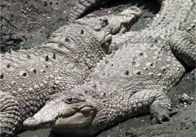 Crocodiles (photos by Nicholas Hellmuth)