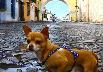 Posición/Position: 2do lugar / 2nd place Premio: 3 botellas de vino La Chamiza / 3 bottles of wine La Chamiza Tema/theme: Mascotas guatemaltecas / Guatemalan pets Título/title: El Turista / The tourist Lugar/place: Arco Santa Catarina, La Antigua Guatemala Autor/author: Andrea Michelle Contreras Alvarez